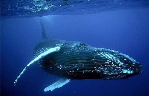 Delfin oceanic - Oceanic dolphin - scutere-galant.ro