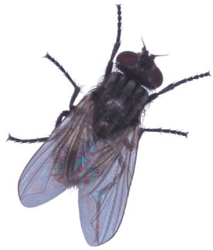 O specie rară de muşte a primit numele cântăreţei Beyonce