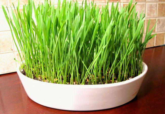 Cura cu grâu încolțit: cum se ține și ce beneficii aduce sănătății