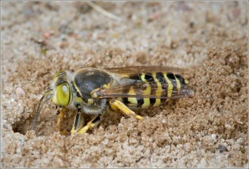 Beneficiul sau vătămarea înțepăturii de viespe Venin de viespe: beneficii și prejudicii