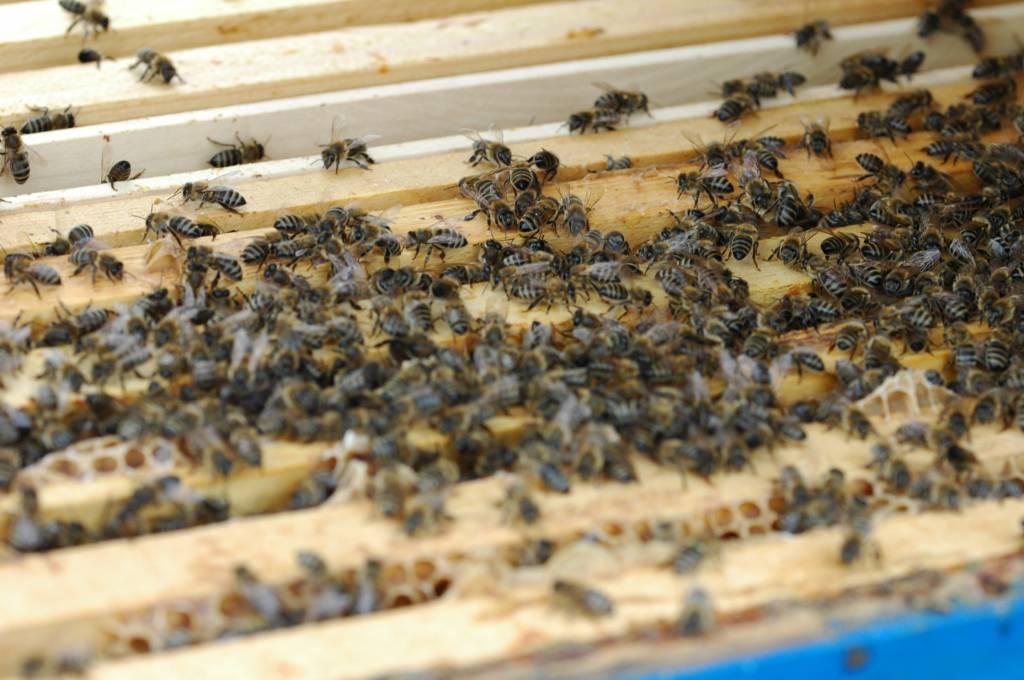 vedere slabă la albini