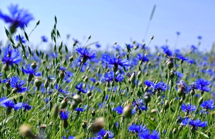 flori de porumb pentru a îmbunătăți vederea Institutul de oftalmologie a rănilor