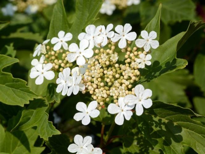 Aranjament flori de primavara - lalele si viburnum