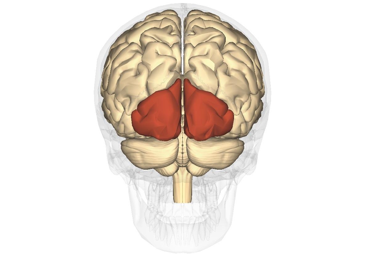 efectul creierului asupra vederii