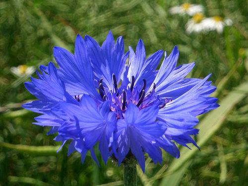 flori de porumb pentru a îmbunătăți vederea scaderea acuitatii vizuale cauze