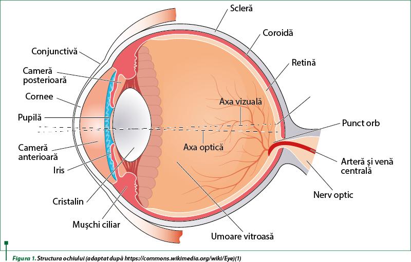 structura globului ocular cu viziune slabă
