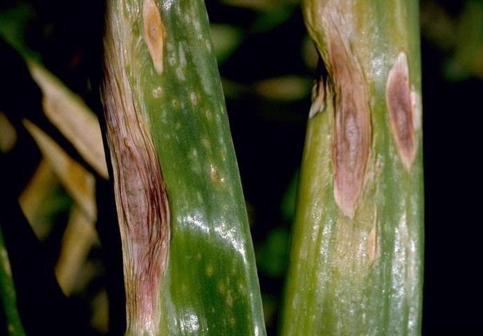Cum scapi de dăunătorii cepei şi ai usturoiului