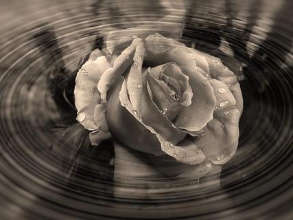 trandafir și vedere umană