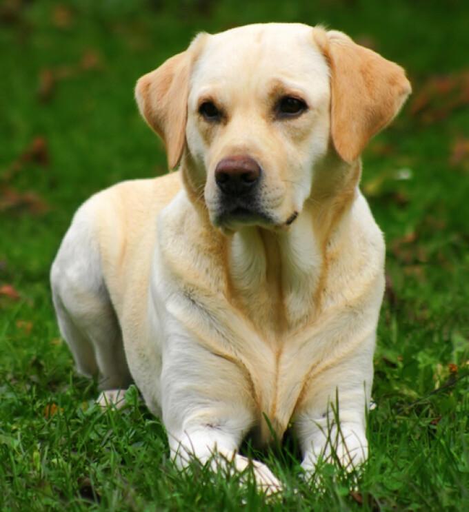 vederea unui labrador rune pentru a îmbunătăți vederea